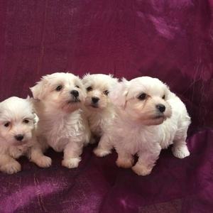 Продам щенков Мальтезе (Мальтийской болонки)